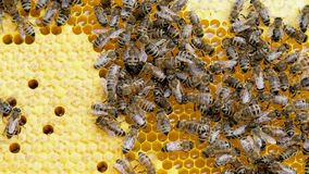 Abejas de la miel en una colmena de la abeja almacen de metraje de vídeo