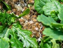Abejas de la miel en una colmena salvaje Imagen de archivo libre de regalías