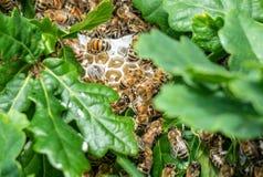 Abejas de la miel en una colmena salvaje Imágenes de archivo libres de regalías