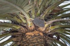 Abejas de la miel en una palmera de la fecha Imagen de archivo libre de regalías
