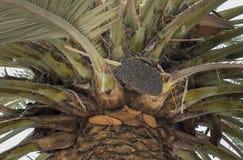 Abejas de la miel en una palmera de la fecha Foto de archivo