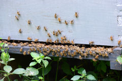 Abejas de la miel en verano Imágenes de archivo libres de regalías