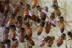 Abejas de la miel (mellifera de los Apis) Imagen de archivo