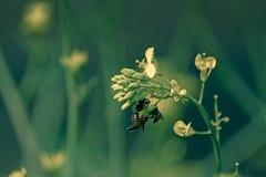 Abejas de la miel, mellifera de los Apis nectaring Fotografía de archivo