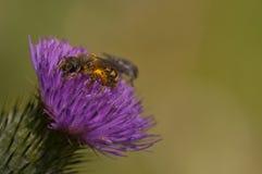 abejas de la miel que alimentan en la flor Fotos de archivo