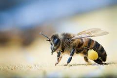 Abejas de la miel que cuidan el polen Imagenes de archivo