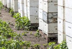Abejas de la miel que entran en y que salen colmenas Imagenes de archivo