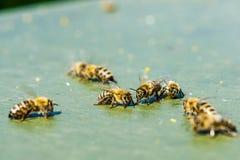 Abejas de la miel que forrajean en la tierra Fotografía de archivo libre de regalías