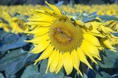Abejas de la miel que polinizan la floración del girasol Imagenes de archivo