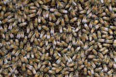 Abejas de la miel que pululan en un panal Foto de archivo libre de regalías