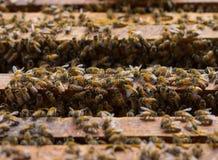 Abejas de la miel que pululan en un panal Fotografía de archivo
