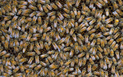 Abejas de la miel que pululan en un panal Fotos de archivo libres de regalías