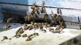 Abejas de la miel que pululan para arriba y que vuelan alrededor de colmena almacen de video