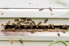 Abejas de la miel que pululan y que vuelan alrededor de su colmena Imagen de archivo