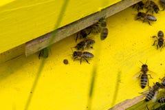 Abejas de la miel que pululan y que vuelan alrededor de su colmena Fotografía de archivo libre de regalías