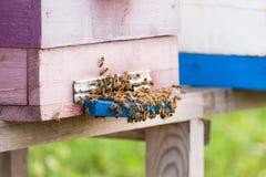Abejas de la miel que pululan y que vuelan alrededor de su colmena Imagenes de archivo
