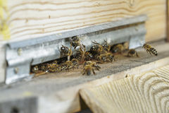 Abejas de la miel que pululan y que vuelan en la colmena Fotografía de archivo