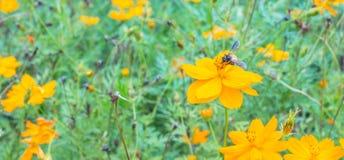 Abejas de la miel que recogen el polen Imagenes de archivo