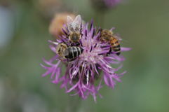 Abejas de la miel que recogen el polen Fotos de archivo libres de regalías