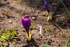 Abejas de la miel que recogen el polen Fotos de archivo