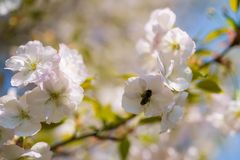 Abejas de la miel que recogen el polen y el n?ctar como comida para la colonia entera, las plantas de polinizaci?n y las flores - imagen de archivo libre de regalías