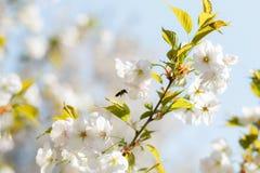 Abejas de la miel que recogen el polen y el n?ctar como comida para la colonia entera, las plantas de polinizaci?n y las flores - fotografía de archivo libre de regalías