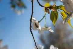 Abejas de la miel que recogen el polen y el n?ctar como comida para la colonia entera, las plantas de polinizaci?n y las flores - imágenes de archivo libres de regalías
