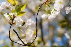 Abejas de la miel que recogen el polen y el n?ctar como comida para la colonia entera, las plantas de polinizaci?n y las flores - fotografía de archivo