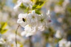 Abejas de la miel que recogen el polen y el n?ctar como comida para la colonia entera, las plantas de polinizaci?n y las flores - foto de archivo libre de regalías
