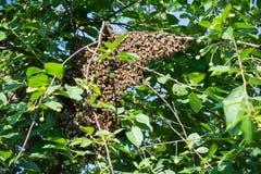 Abejas de la miel que se aferran en un cerezo Imagenes de archivo