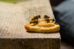 Abejas de la miel que se sientan en la galleta Imágenes de archivo libres de regalías