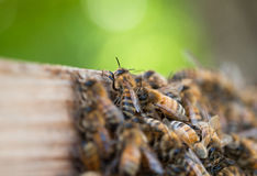 Abejas de la miel que se vuelven a casa Fotografía de archivo libre de regalías