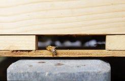 Abejas de la miel que suben en una colmena Imagenes de archivo