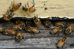 Abejas de la miel que vienen y que van Imágenes de archivo libres de regalías