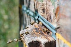 Abejas de la miel que vuelan en una vieja entrada de la colmena Aislado Imagenes de archivo