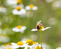Abejas de la miel y campo de la manzanilla Imágenes de archivo libres de regalías
