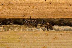 Abejas de la miel y x28; Mellifera& x29 de los Apis; en el peine de la miel en colmena Fotografía de archivo libre de regalías