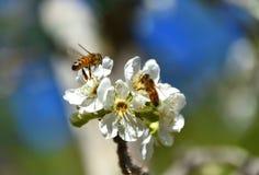 Abejas de la primavera que polinizan Imagen de archivo