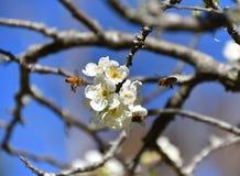 Abejas de la primavera que polinizan Foto de archivo