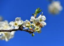 Abejas de la primavera que polinizan Foto de archivo libre de regalías