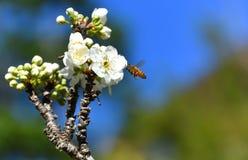 Abejas de la primavera que polinizan Fotografía de archivo libre de regalías