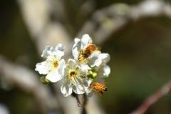 Abejas de la primavera que polinizan Fotos de archivo