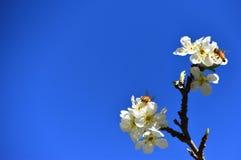 Abejas de la primavera que polinizan Fotografía de archivo