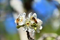 Abejas de la primavera que polinizan Imágenes de archivo libres de regalías