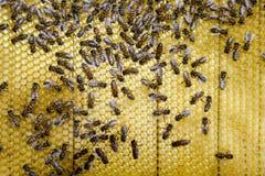 Abejas de Roy en los peines de la cera Panal de la abeja, tablón con el panal de la colmena Abeja de la miel Foto de archivo