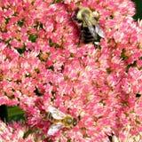 Abejas de Thornhill en la flor 2017 de Sedum Imágenes de archivo libres de regalías