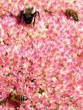 Abejas de Thornhill en la flor 2017 de Sedum Fotografía de archivo