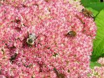 Abejas de Thornhill en una flor 2017 de Sedum Fotografía de archivo libre de regalías