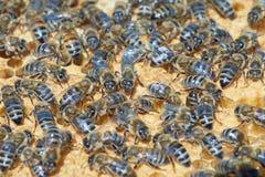 Abejas de trabajador en imagen de Honeycomb Foto de archivo libre de regalías