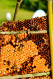 Abejas de trabajador en imagen de Honeycomb Fotos de archivo libres de regalías